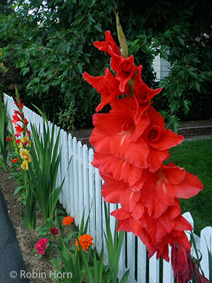 Gladiolas and Zinnias near Fence