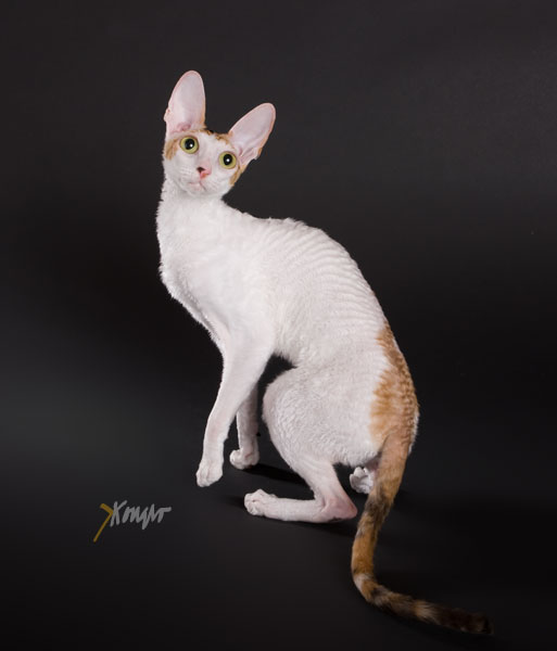 cornish rex kattungar