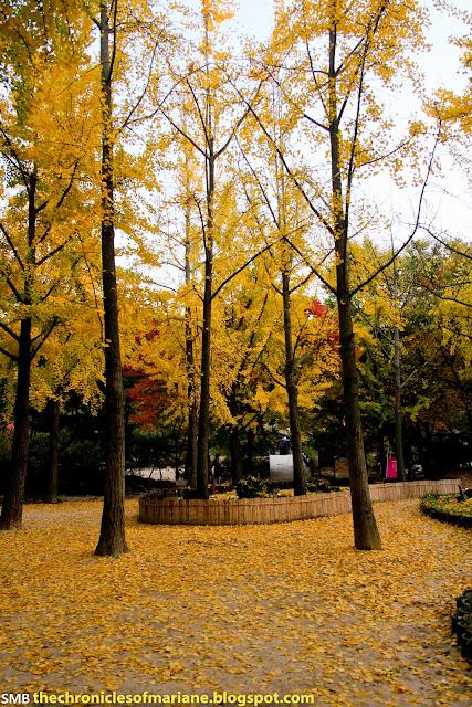 korea ginko tree