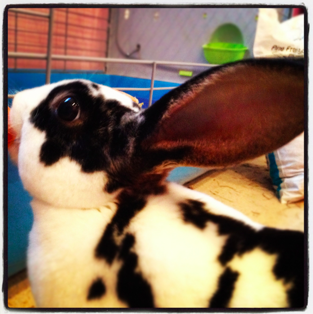 Bridey Rabbit