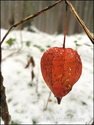 Ballonblume im Schnee
