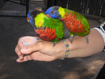 Lorikeets sipping nectar from a cup