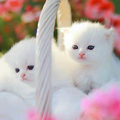 Adorable white cats in basket image
