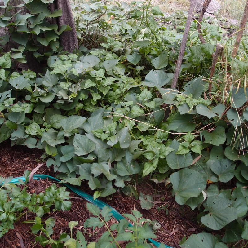 eight acres: growing unusual vegetables in the sub-tropics