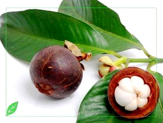 cara Budidaya Manggis
