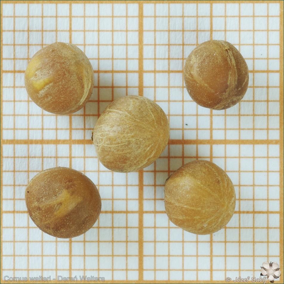 Cornus walteri seeds - Dereń Waltera nasiona
