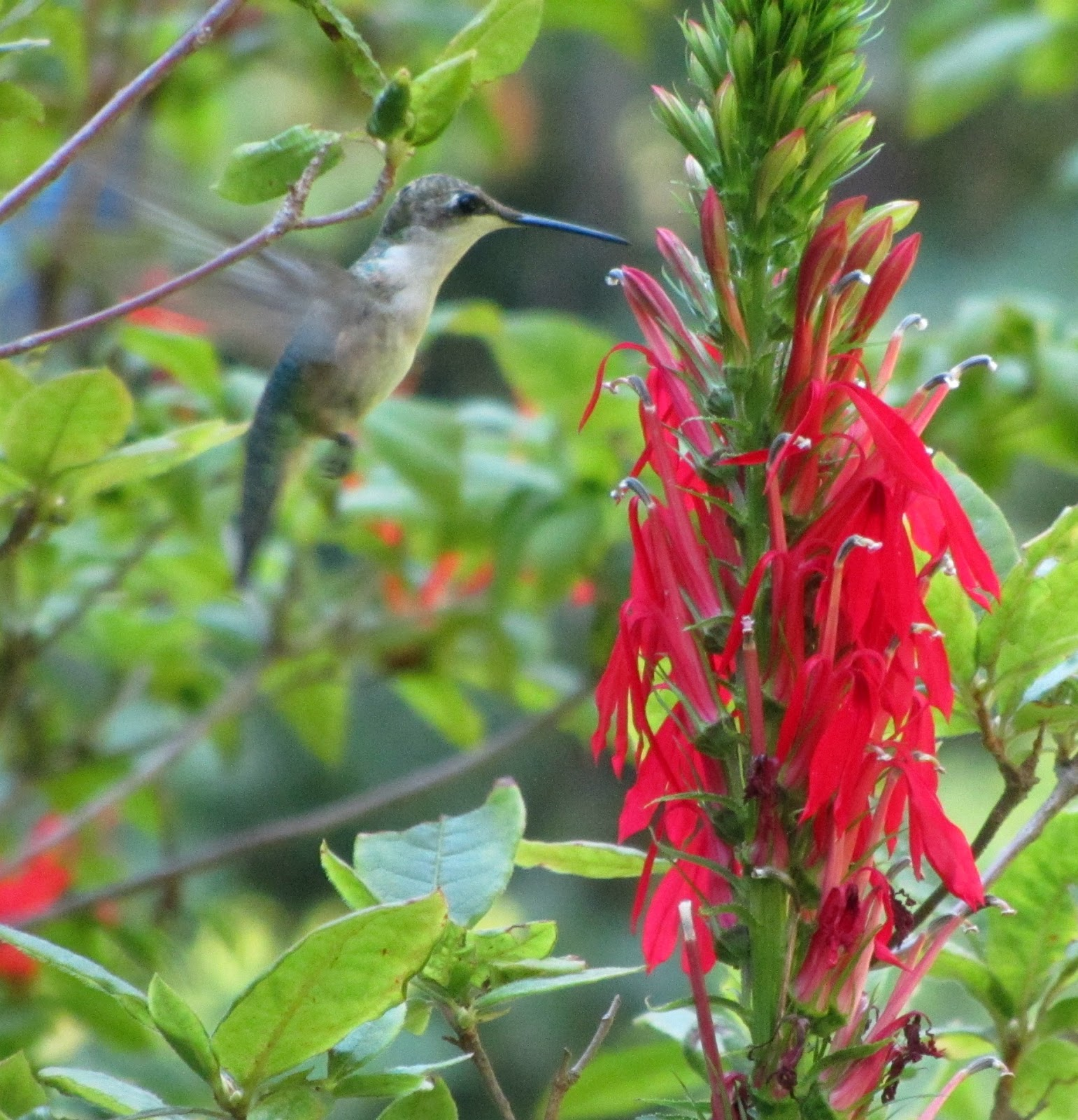 using georgia native plants the hummingbird games