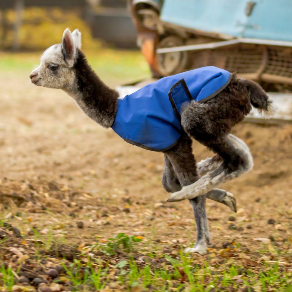 12. Alpaca Yoga