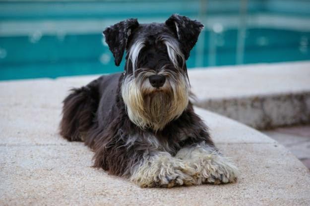 disfraces para perros, razas de perros pequeños