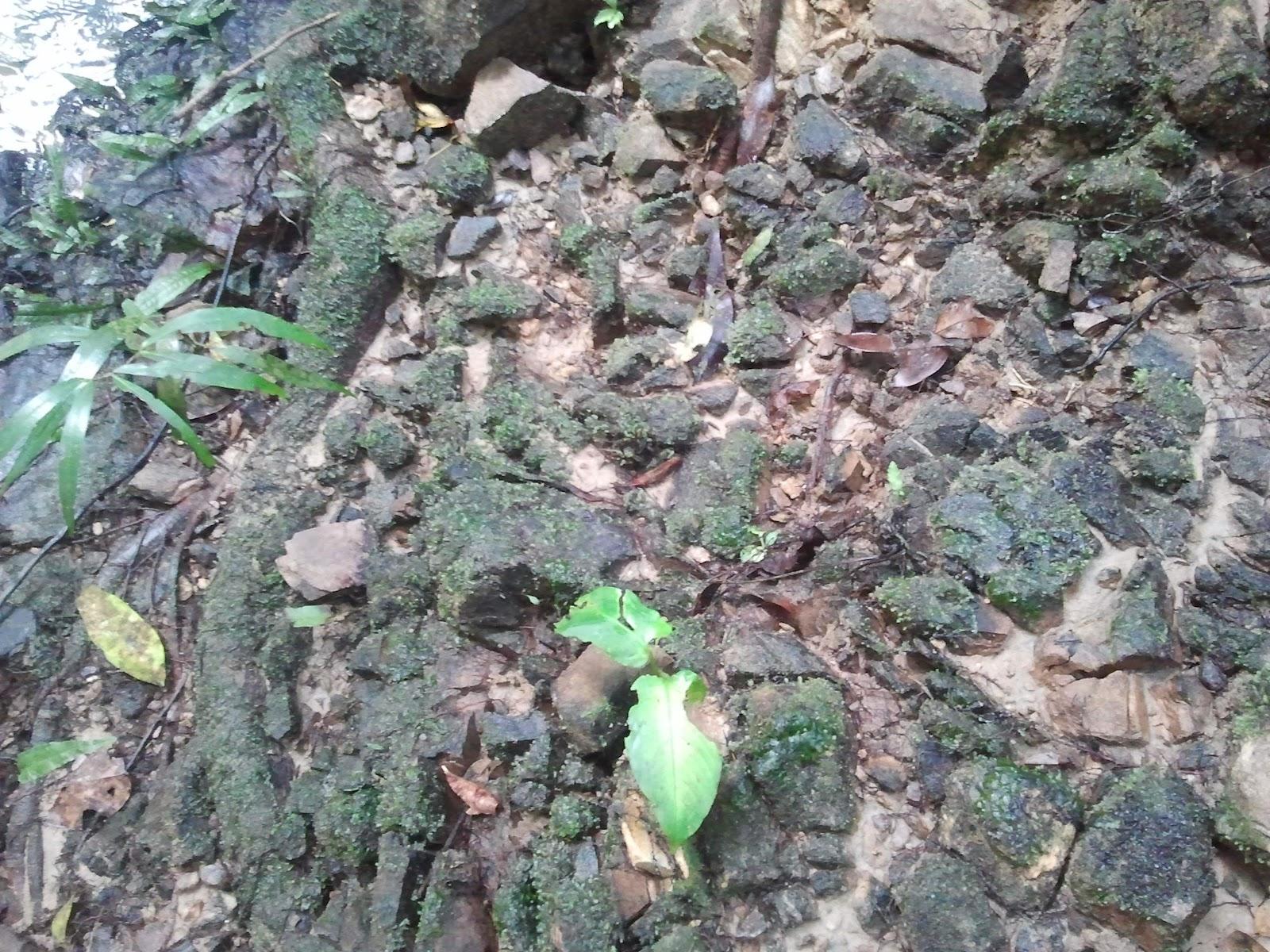 how to grow java moss on rocks