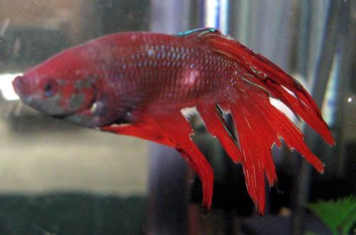 Acuario dictos compra aclimataci n de los peces y como for Como se escribe beta