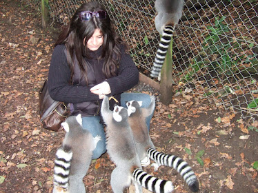 playing with ringtailed lemurs