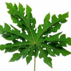 struktu tulang daun pepaya