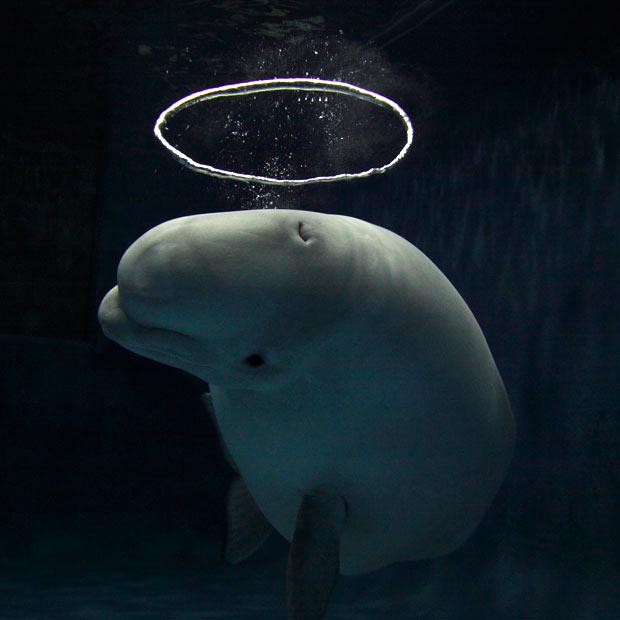 Paus Beluga yang pandai buat gelembung bentuk halo