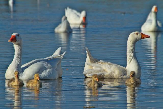 Geese and Goslings