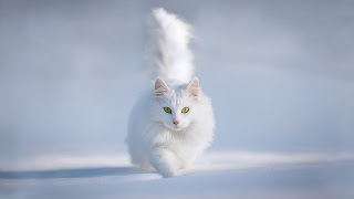Cat White Winter White Cat HD Wallpaper