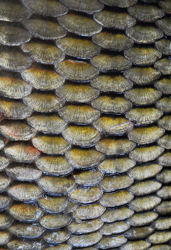 Carp scales - the more, the better
