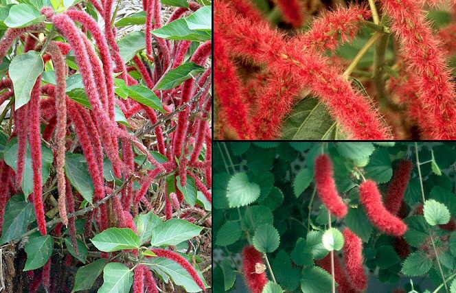 Arte y jardiner a acalifa acalypha familia euforbi ceas for Plantas de interior hojas rojas