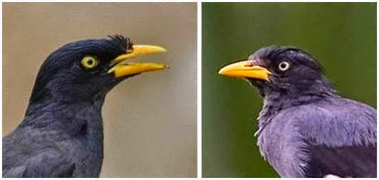 Foto Burung Jalak Hitam Jantan