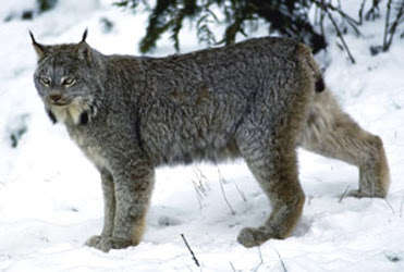 lince canadiense Lynx cannadensis