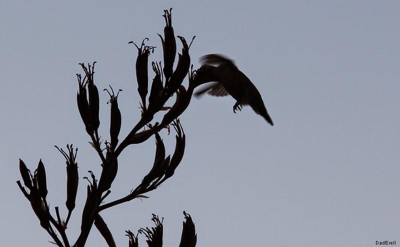 Colibri récoltant du nectar dans une fleur de phormium