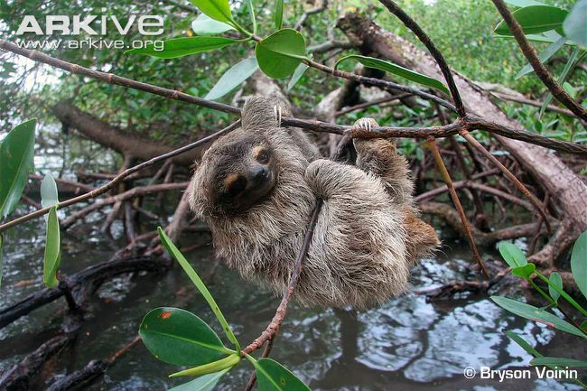 are all sloths endangered