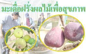 อาชีพอิสระการปลูกมะเดื่อฝรั่ง