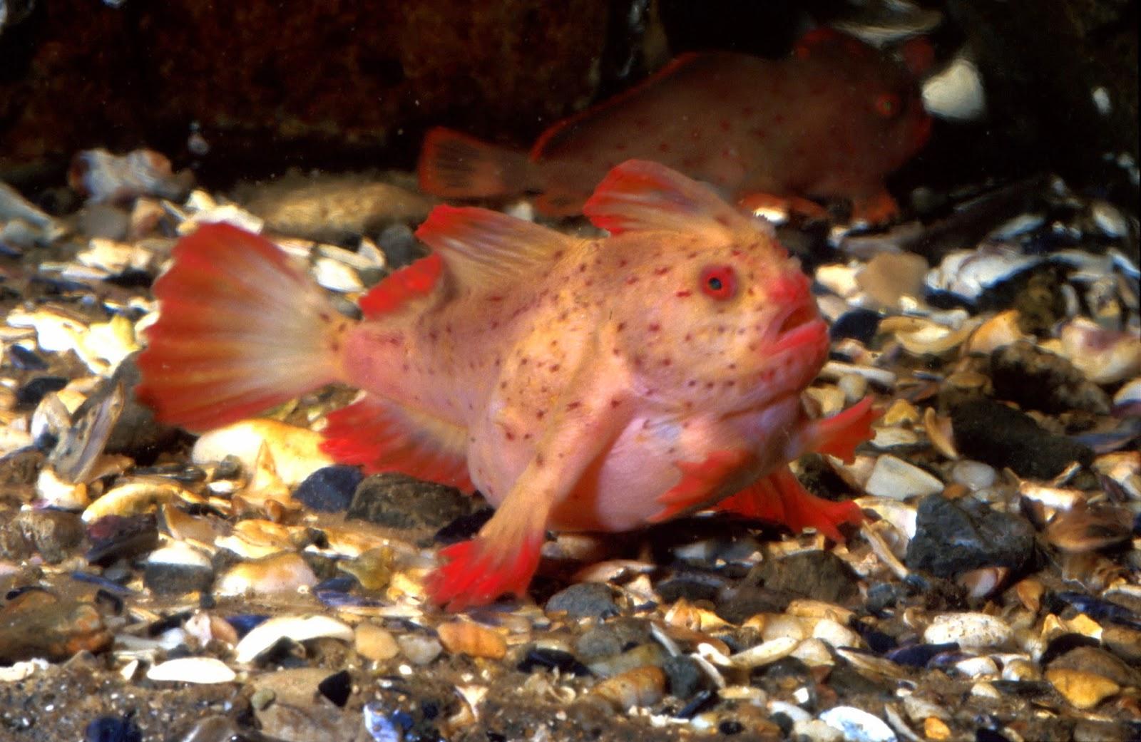 http://fishshare.blogspot.com/2015/01/handfish-pictures.html