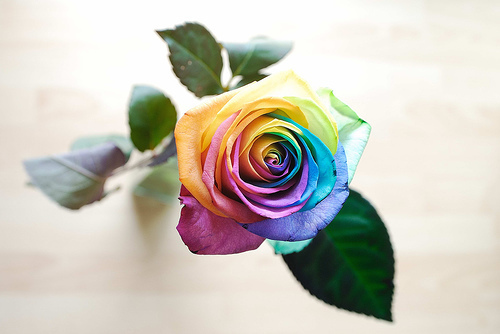 Amazing colourful rose