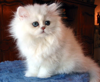 fotos-video-vendo-gatos-persa-angora-siameses-programa-de-vacunacion-razas