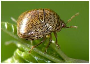 Adult Kudza Bug - Soybean Pest