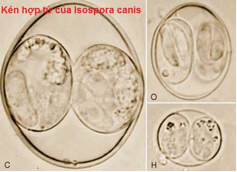 Kén hợp tử của Isospora canis
