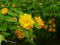 八重の山吹の花