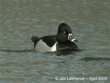 Ring-necked Duck, Grafham Water