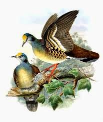 Sulawesi ground dove