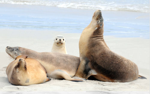 Focas en Isla Adelaida - Kangaroo Island Adelaide by Franco Mottironi