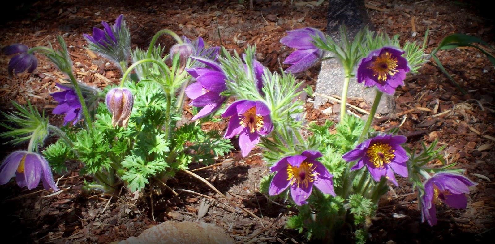 Flora montana Pasqueflower