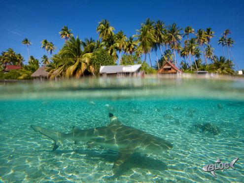 shark tiburon blogtiburones
