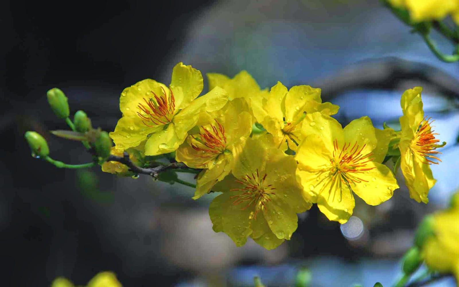 hoa mai đón xuân