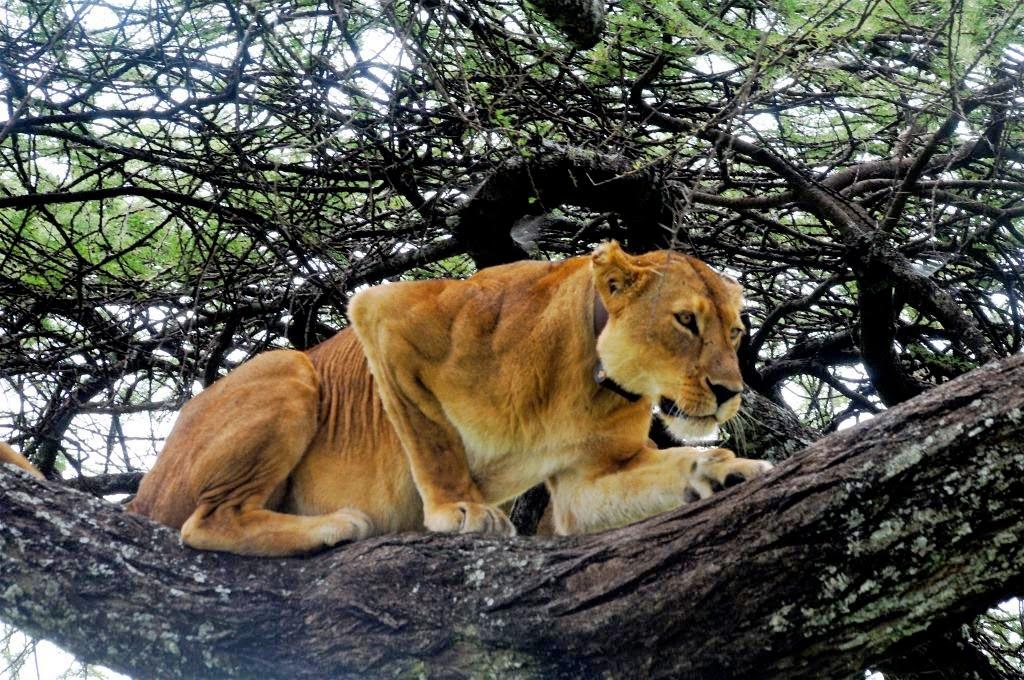 boomleeuwen, Tanzania, Afrika, Oost-Afrika, zeldzame boomleeuwen, wildlife, wilde dieren, Afrikaanse dieren