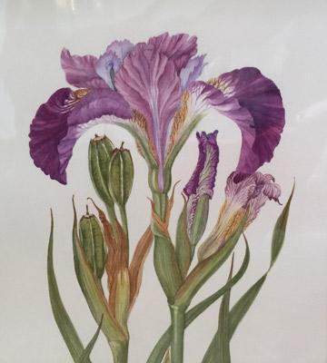 Iris Sibirica by Ruth Kirkby GM