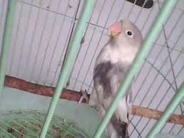 Love bird Blorok