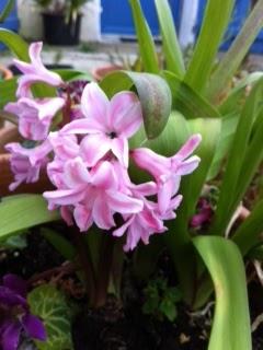 les fleurs comestibles et les plantes aromatiques de votre jardin jacinthe. Black Bedroom Furniture Sets. Home Design Ideas