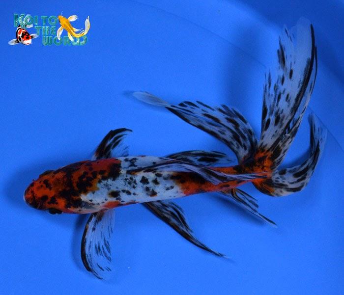 Goldfish & Koi : Shop For Watonai Goldfish From Koi To The World