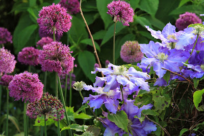 Alliums and Clematis