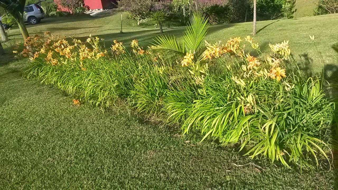 Hemerocallis fulva o azucena lirio de dia braunrote for Azucena plantas jardin