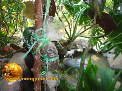 FOTO 1: Lihat akar pada cangkokan apakah sudah muncul atau belum