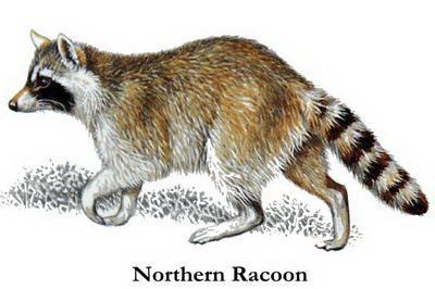 northern_racoon