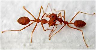 Kenapa Semut Berhenti Sejenak Bila Berpapasan dengan Semut Lainnya