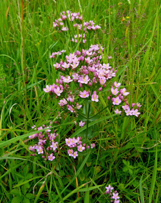 Centaury (Centaurium Erythraea  Erythraea Centaurium) Overview, Health Benefits, Side effects